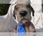 Great Dane Puppy For Sale in COVENTRY, RI, USA