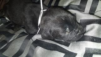 Cane Corso Litter for sale in LITHIA SPRINGS, GA, USA