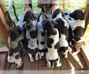 German Shorthaired Pointer Litter for sale in FORT WORTH, TX, USA