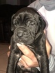 Cane Corso Puppy For Sale in SEFFNER, FL, USA