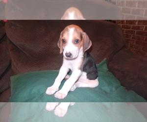 American Foxhound Litter for sale in AIKEN, SC, USA