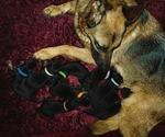 German Shepherd Dog Puppy For Sale in OLYMPIA, WA, USA