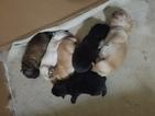 Chow Chow Puppy For Sale in ALPHARETTA, GA, USA