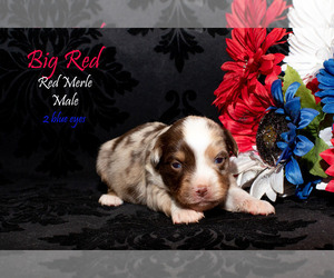 Miniature Australian Shepherd Litter for sale in EUREKA, NV, USA