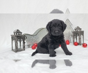 Labradoodle Litter for sale in COLLEGE STA, TX, USA