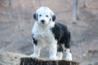 View Ad: Sheepadoodle Litter of Puppies for Sale near Missouri