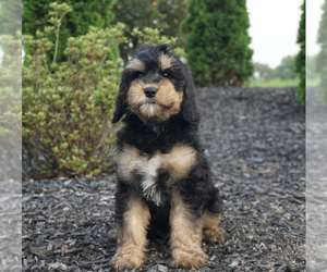 Miniature Bernedoodle Litter for sale in WARSAW, IN, USA