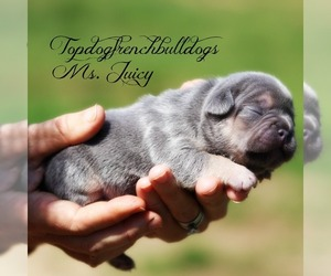 French Bulldog Litter for sale in HURON, TN, USA