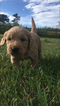 Goldendoodle Puppy For Sale in GOLDEN, CO, USA