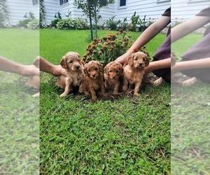 Medium Golden Retriever-Poodle (Toy) Mix