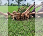 Small Golden Retriever-Poodle (Toy) Mix