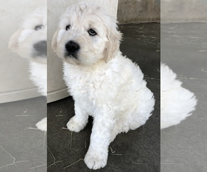 Goldendoodle Litter for sale in ANZA, CA, USA