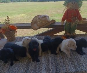 Labrador Retriever Litter for sale in AVERY, TX, USA
