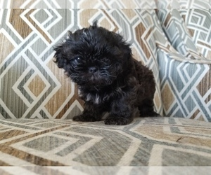 Shih Tzu Litter for sale in SAVANNAH, TN, USA