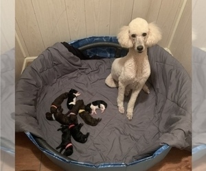 Poodle (Standard) Litter for sale in LEXINGTON, SC, USA