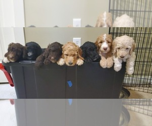 Labradoodle Litter for sale in BATON ROUGE, LA, USA