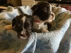 Havanese Puppy For Sale in THOMASVILLE, GA, USA