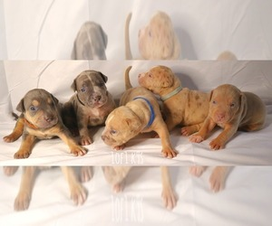 American Bully Litter for sale in PALMDALE, CA, USA