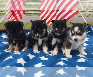 Alaskan Klee Kai Litter for sale in WINCHESTER, OH, USA