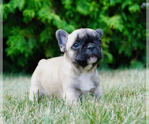 French Bulldog Litter for sale in WARSAW, IN, USA