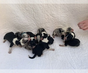 Bordoodle Litter for sale in CRESTON, OH, USA