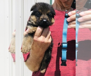 German Shepherd Dog Litter for sale in NEOSHO, MO, USA