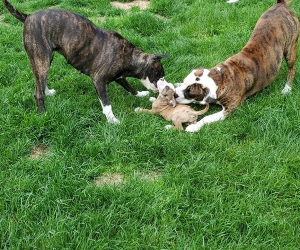 View Ad: American Bulldog Litter of Puppies for Sale near ...
