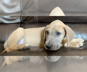 Great Dane Litter for sale in CLOVER, SC, USA