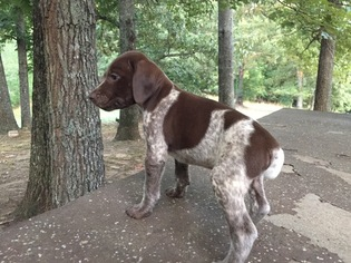 View Ad German Shorthaired Pointer Litter Of Puppies For Sale Near