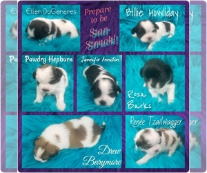 Shih Tzu Litter for sale in THE WOODLANDS, TX, USA