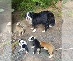 Small Bernese Mountain Dog Mix
