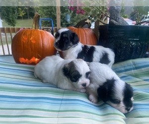 Shih Tzu-Unknown Mix Litter for sale in HASTINGS, MI, USA
