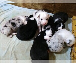 Australian Shepherd Litter for sale in LEWISBURG, TN, USA