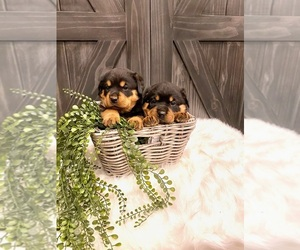 Rottweiler Litter for sale in SHREVE, OH, USA