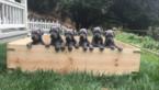 Great Dane Puppy For Sale in LIVERMORE, CA, USA