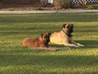 Bullmastiff Puppy For Sale in WHITEVILLE, NC, USA