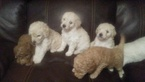 Goldendoodle (Miniature) Puppy For Sale in NORTH LIBERTY, IN, USA