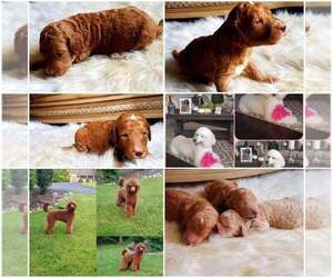 Poodle (Standard) Litter for sale in BRONX, NY, USA