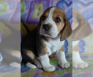Beagle Litter for sale in REASNOR, IA, USA