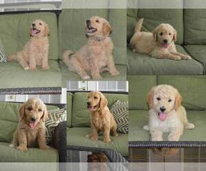 Goldendoodle Litter for sale in LIVE OAK, FL, USA