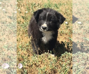 Border Collie Litter for sale in WELLINGTON, CO, USA