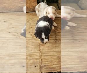 Australian Shepherd Litter for sale in BAILEYTON, AL, USA