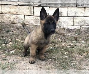 Belgian Malinois Litter for sale in POTEET, TX, USA