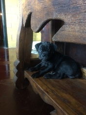Cane Corso Puppy For Sale in STEPHENVILLE, TX, USA