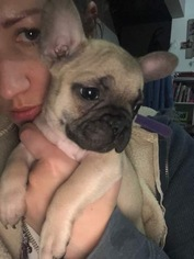 French Bulldog Litter for sale in ALBUQUERQUE, NM, USA