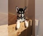 Alaskan Malamute Puppy For Sale in GROTTOES, VA, USA