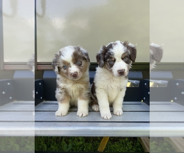 Medium Photo #1 Australian Shepherd Puppy For Sale in LANCASTER, KY, USA