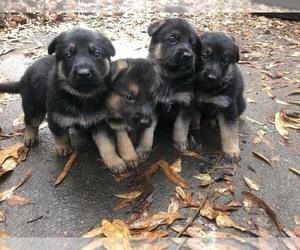 German Shepherd Dog Litter for sale in CHARLOTTE, NC, USA