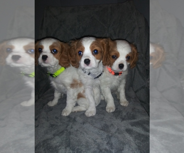 Medium Photo #1 Cavalier King Charles Spaniel Puppy For Sale in HOWLAND, OH, USA