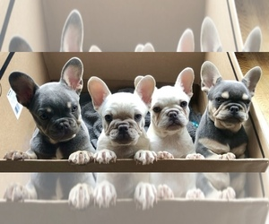 French Bulldog Litter for sale in PORTLAND, OR, USA